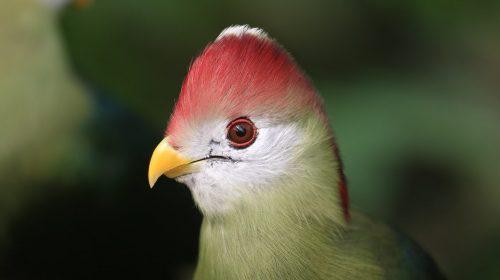 pájaro turaco
