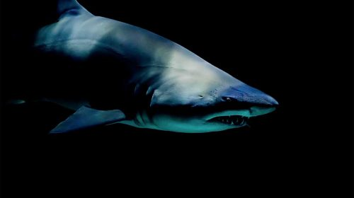 Tiburón, imagen de Unsplash